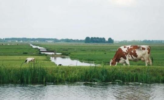 Foto koeien in de wei