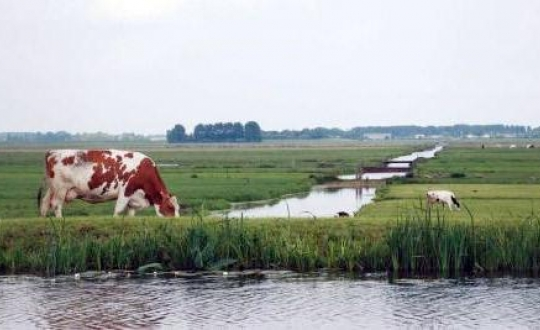 foto koe in polderlandschap