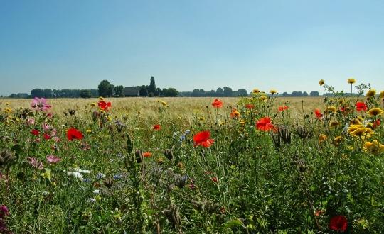 bloemrijke akkerrand ter bevordering van biodiversiteit