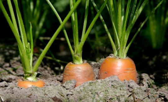 foto van wortelen in de grond